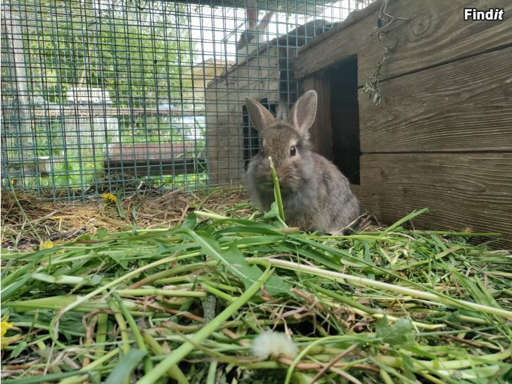 Säljes Söta Mini kaninungar till salu