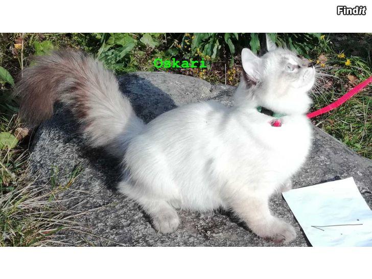 Myydään Sinisilmäisiä pitkäkarvaisia kissanpentuja